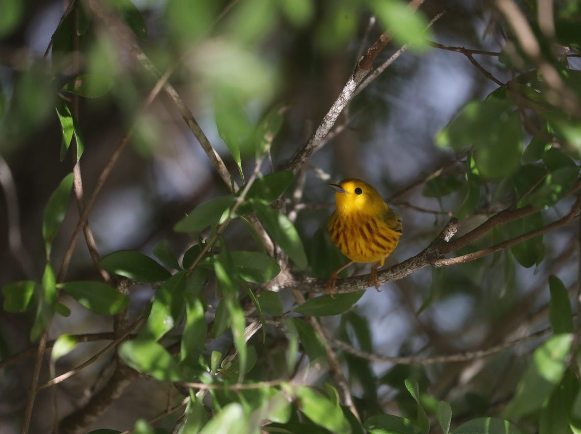 It is spring migration for birds as they make their way north. They are coming from South and Central America where they make their way across the Gulf of Mexico. Southwest Florida is a stop over for migrating birds. Birders are recording sightings throughout the area.