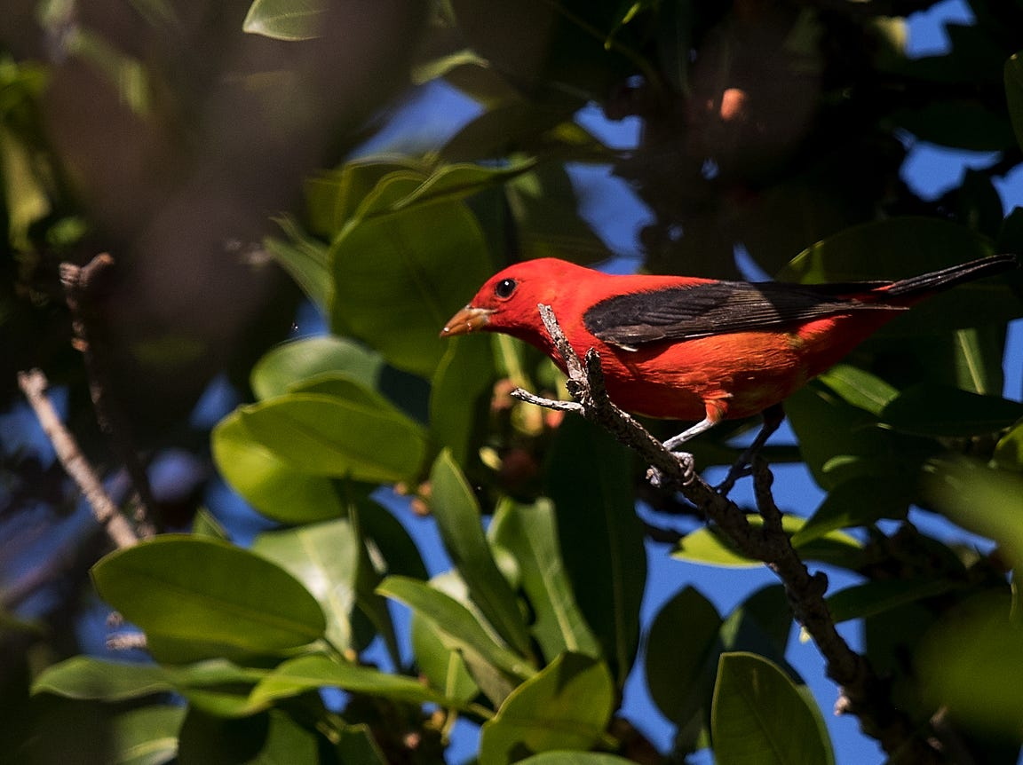 A scarlet tanager feeds on berries at Rotary Park in Cape Coral on Tuesday April, 23, 2019. It is spring migration for birds as they make their way north. They are coming from South and Central America where they make their way across the Gulf of Mexico to their breeding grounds in eastern North America according to Cornell Lab of Ornithology.