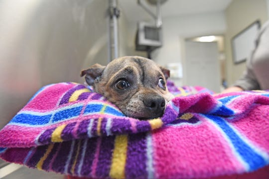 Bugsy the chihuahua/pug mix is in critical condition after being shot last Tuesday.