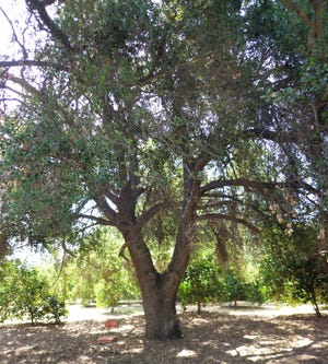 Oaks prefer to grow in natural soil without any mulch or cover in the wild and in gardens.