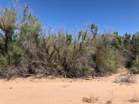 Salt cedars, also known as tamarisk, have essentially dammed off the Gila River in Buckeye. Officials want to develop along the river, but the salt cedars stand in their way.