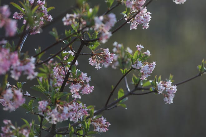 People won't be seeing lilacs at a festival this year, but for one local woman, lilacs in bloom have a special to her grandmother.