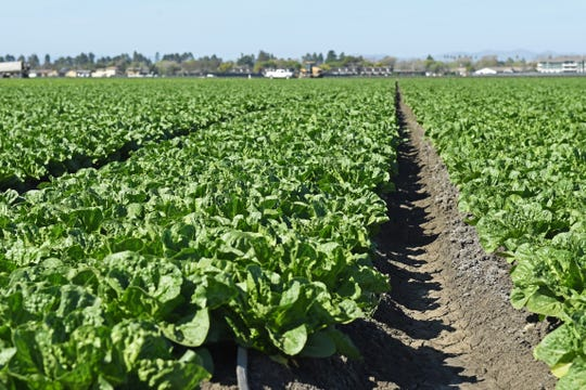 Lettuce fields outside Salinas, Calif.