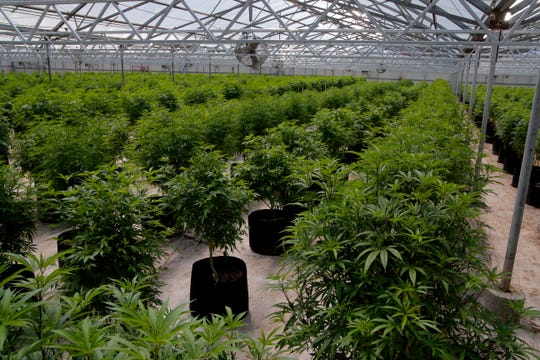 """Marijuana """"mother"""" plants are grouped by each plant's strain April 19, 2019, at Pacific Reserve nursery and cultivation site. The mother plants, all female, are instrumental in creating the clones sold at retail joints. Male plants generally are discarded because they don't produce flower and pollinated female plants don't produce near as much potent flower."""