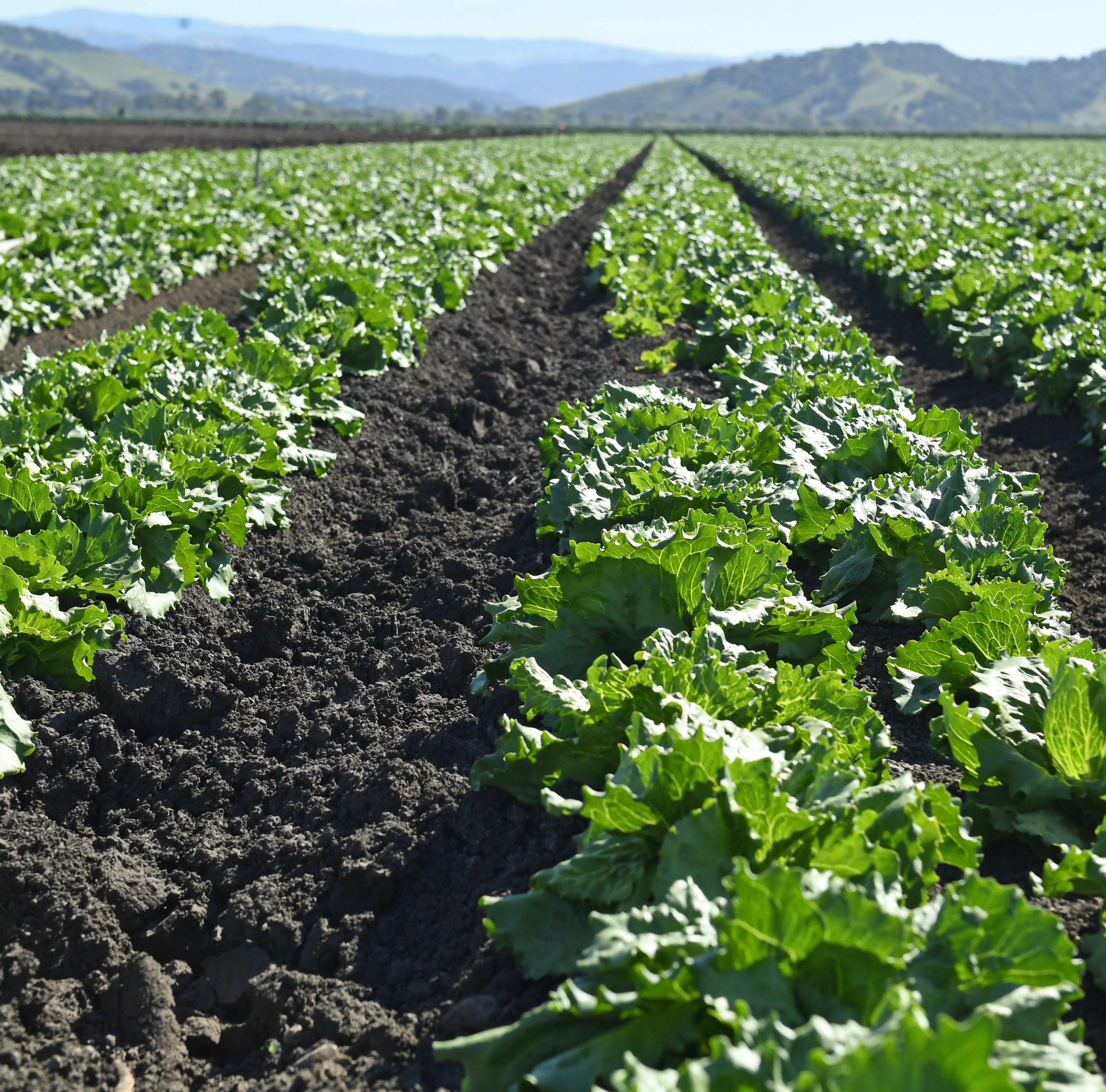 More stringent groundwater testing aims to lower risk of E.coli infections from romaine