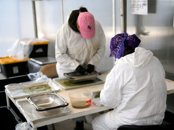 Workers process cannabis to create kief, a fine powder of crystals harvested from flower, April 19, 2019, at Pacific Reserve nursery and cultivation site.