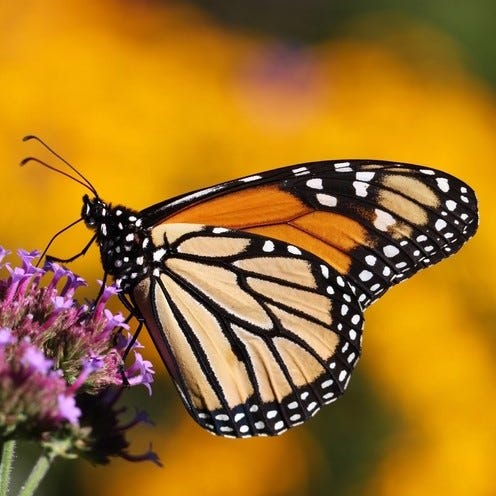 Grow native milkweed to support the monarchs