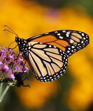 Monarch butterfly (Danaus plexippus) adults time their migration with the growth of the milkweeds to lay eggs for the next generation.