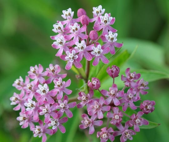 """Grow native swamp milkweed (Asclepias incarnata) in poorly-drained soil, as they like their """"feet"""" to stay wet."""