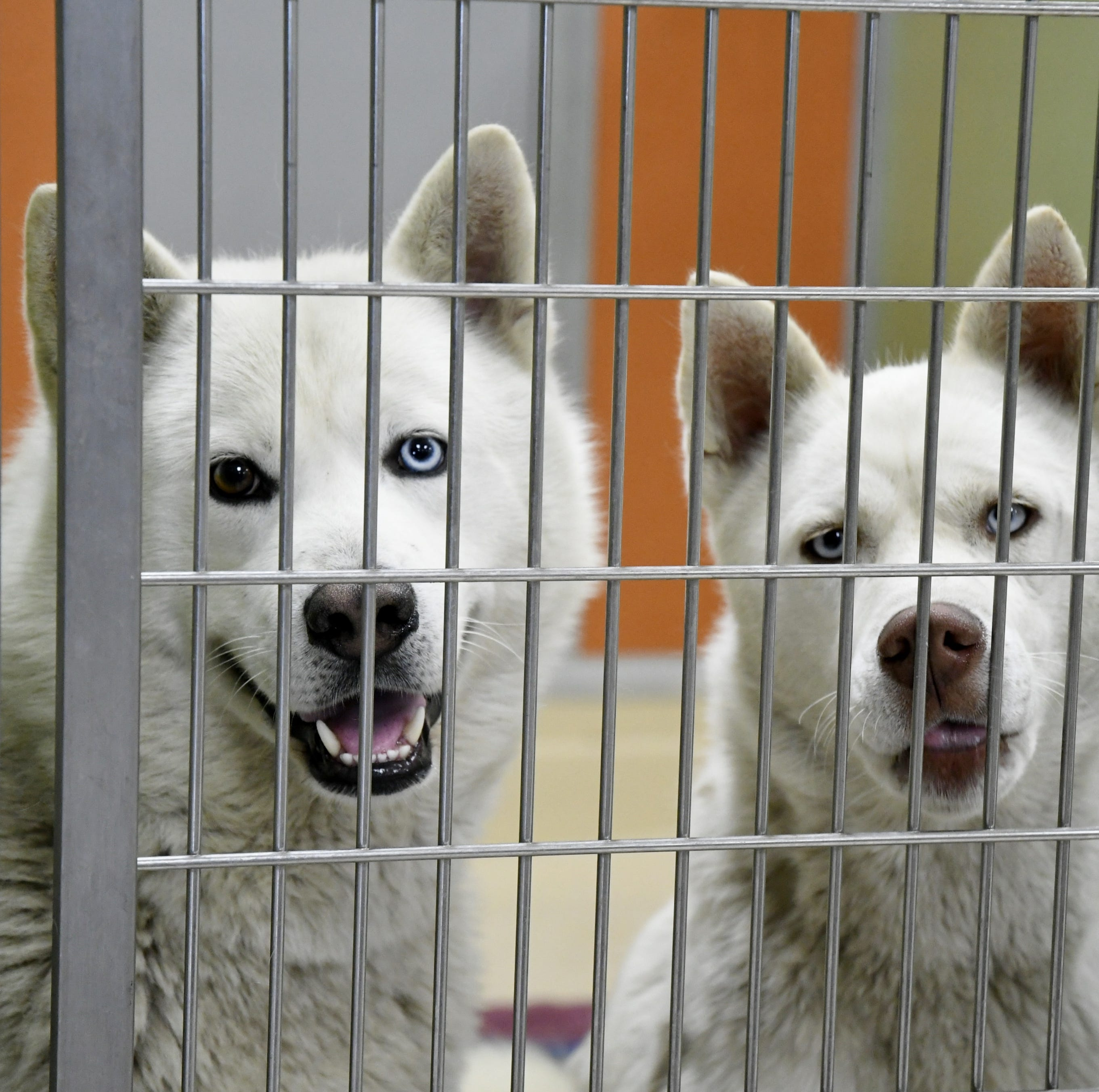 'Game of Thrones' blamed for spike in Valley huskies being abandoned