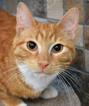 Cruise is a 9-month-old, orange tabby, neutered male domestic short-haired cat. He is affectionate, loves attention and is available for adoption at the Wichita Falls Animal Services Center.
