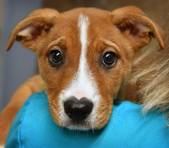 Happy is a 9-week-old, tan and white, German Shepherd/pit bull mix. She is playful, happy and is available for adoption at the Wichita Falls Animal Services Center.
