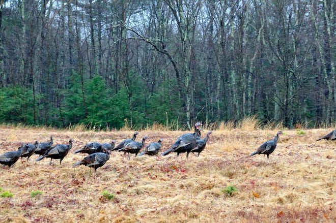 Wild turkeys in Nottingham, N.H.