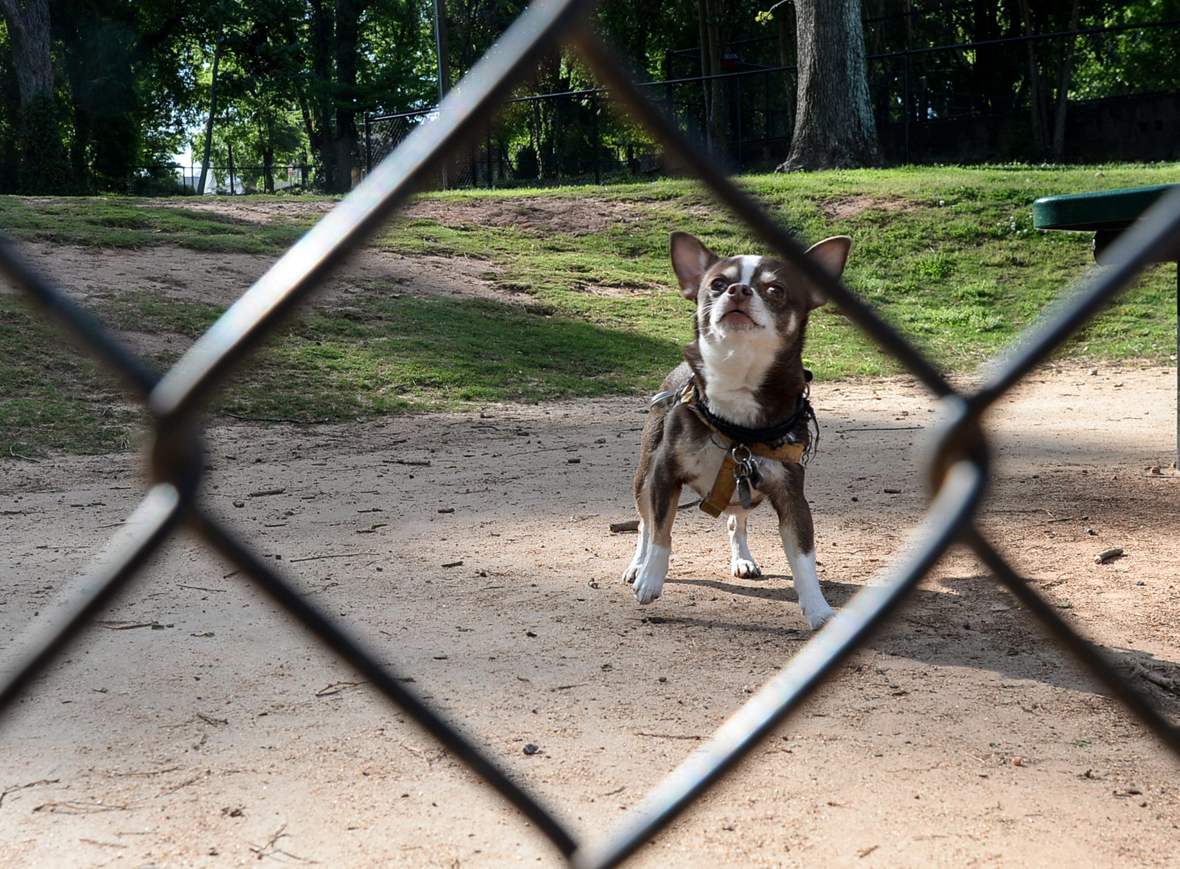 """Chihuahua """"Hershey Kisses"""" plays at The Dog Park in downtown Anderson Tuesday. The Dog Park is the fourth project that To Benefit Anderson group has completed since the first in 2007. The Foothills Community Foundation joined with the group in raising money for the projects."""