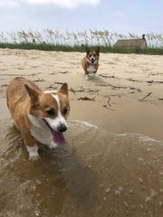 Tyrion and Sophie enjoy time at a beach. The corgis plan on attending the Corpus Christi Corgi Convention in June.