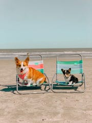 Askker and Colby sit on chairs at the beach. Their owner Alissa Bowman organized Corpus Christi Corgi Convention set for June 15, 2019.