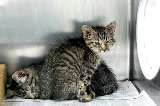 The Animal Rescue League of Iowa said 26 cats were rescued at and outside a one-bedroom Des Moines apartment Tuesday, April 23, 2019. The shelter said the animals had been mistreated, with some needing veterinary attention.