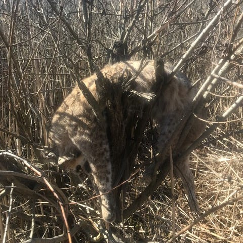 How did dead bobcat end up in tree? Michigan DNR tries to solve mystery
