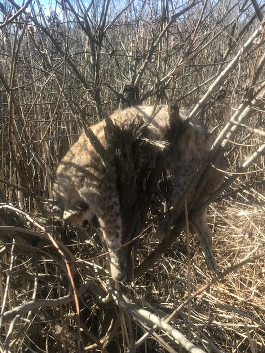 A dead bobcat was found strung in a tree on April 23, 2019 in Montcalm County.