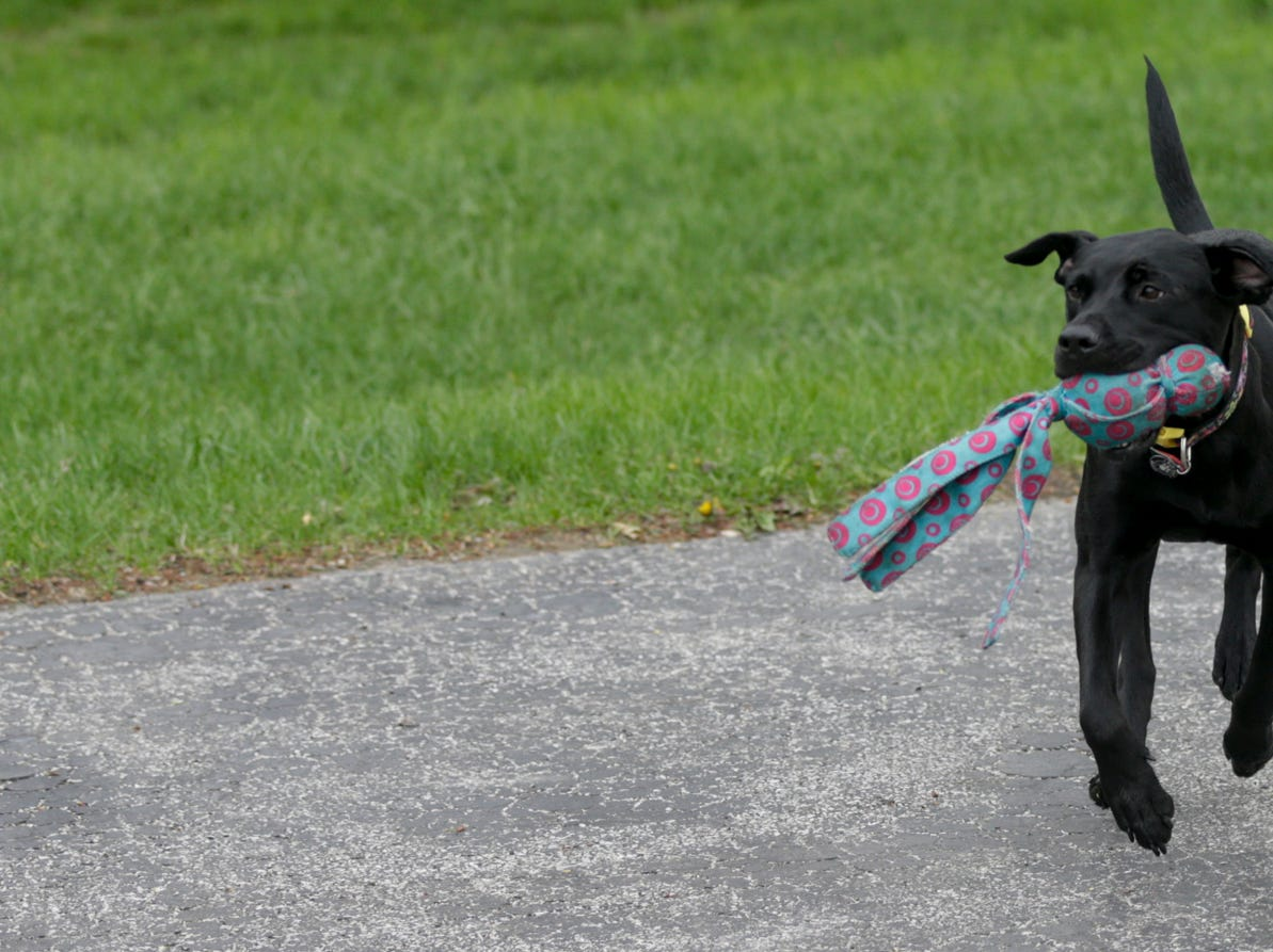 Lexi retrieves her toy after her owner, Travis Oliver, a sergeant with the Lafayette Fire Deaprtment, Wednesday, April 24, 2019, at his West Lafayette home. Lexi was injured in a Minnesota house fire when her crate melted to her skin causing burns on the left side of her body. Oliver saw Lexi on a rescue organization's Instagram account and knew he had to adopt her.