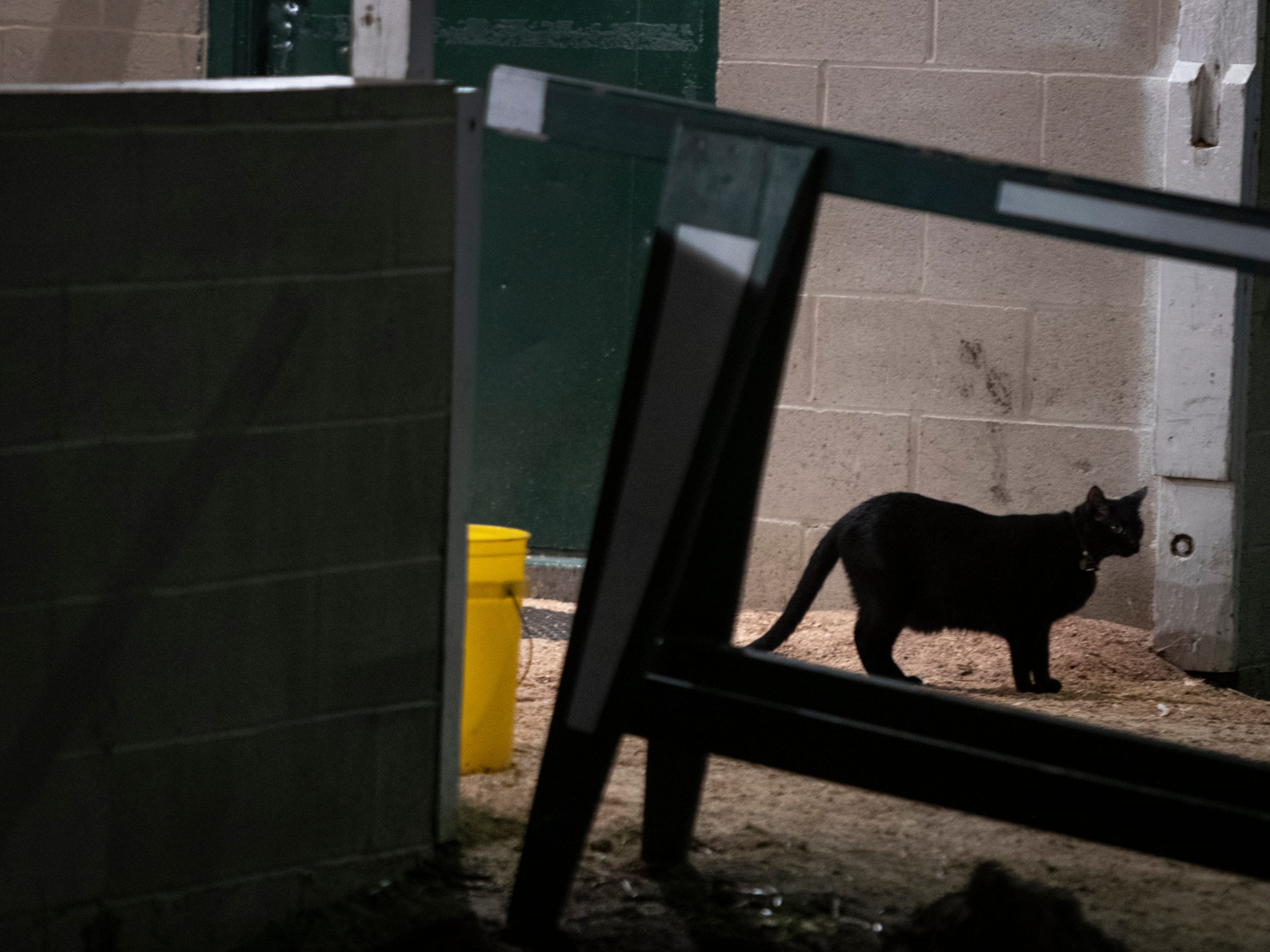 A black cat stood in the entrance of a stable at Churchill Downs before dawn. April 24, 2019