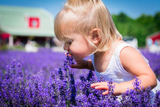 Lavender in full bloom delivers a sensuous experience at Fragrant Isle Lavender Farm on Washington Island in Door County.