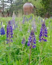 Wild lupines brighten the roadsides around Bayfield in spring.