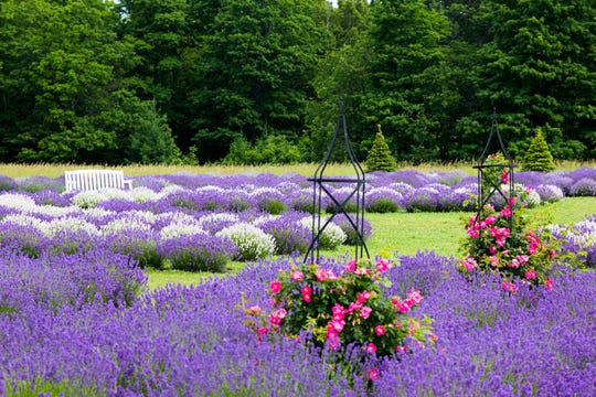Fragrant Isle Lavender Farm expanded last year with additional lavender plants and more rose gardens for a total of 20,000 lavender plants at their Washington Island farm.