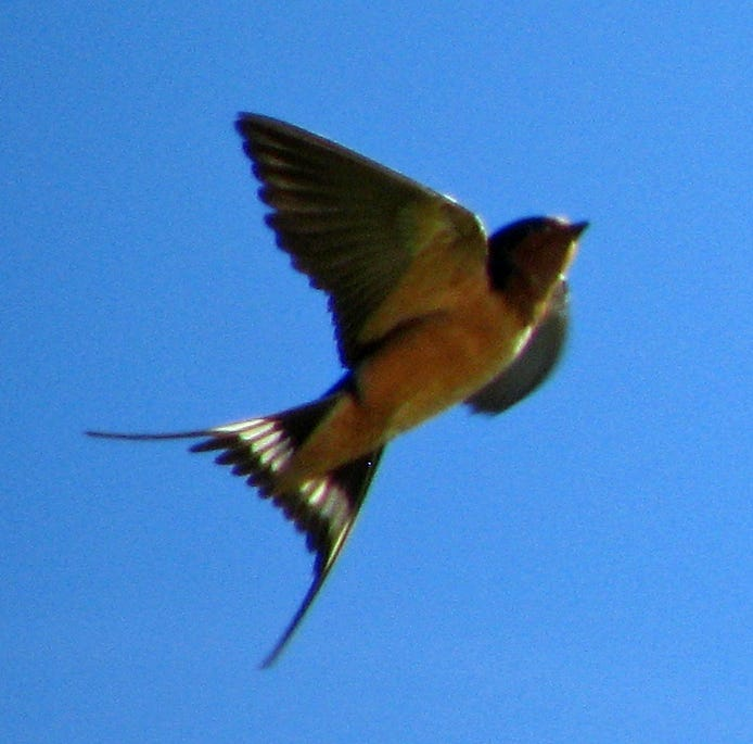 Get to know the swallows of the Mesilla Valley