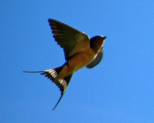 A barn swallow fans its distinctive tail in a showy flight maneuver.