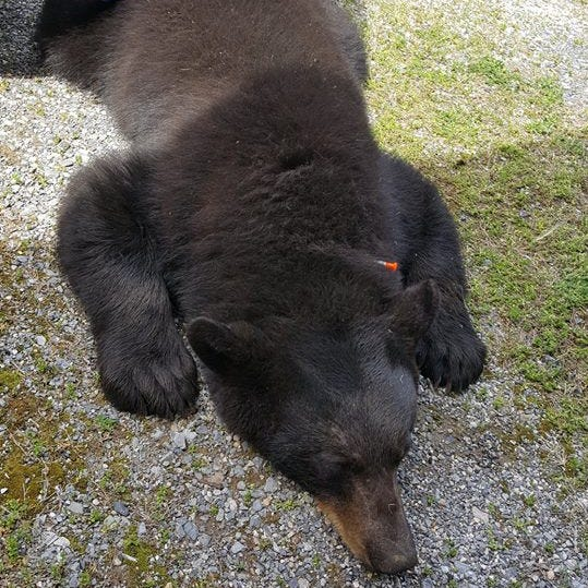 Bear trapped in Hellam Twp. made appearance at Envirothon, then was relocated