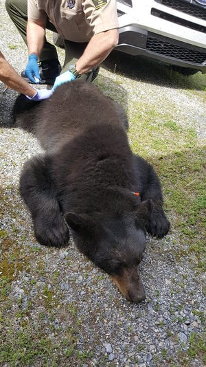 Pennsylvania Game Commission wardens do testing on a bear they trapped in Hellam Twp. on April 23, 2019. Wardens made a stop at the York County Conservation District's student Envirothon before relocating the bear, officials said.