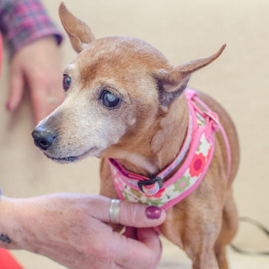 Jazz is a 10-year-old female miniature pinscher. She has experience living with other dogs, and while she doesn't enjoy romping or frolicking with them, she can coexist nicely. Jazz has no cat experience, but she loves people. She is ready to cuddle. To find out more, call Willamette Humane Society at 503-585-5900 or visit www.whs4pets.org.