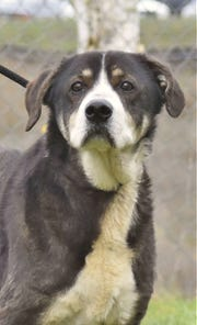 Miles is a 10-year-old neutered male Australian Shepherd mix. He gets along well with other dogs and cats. Miles does prefer to eat his food all alone, so a dog crate or a room by himself would be ideal. He is a very calm guy. Contact Marion County Dog Services at 503-588-5366 or go to www.MCDogs.net.