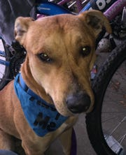 Scooby is a 2-year-old neutered male American pit bull mix. He is dog social, but will chase a running cat. Scooby is a huge cuddler and thinks he is a lap dog. He will need basic training — he is learning to sit, stay and shake. Contact Marion County Dog Services at 503-588-5366 or go to www.MCDogs.net.
