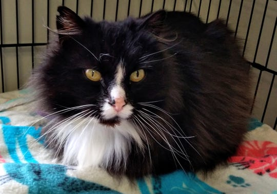 Badger is 2 1/2 years old. He simply wants to be petted and be close to his people. Badger is friendly, vocal, mellow, affectionate and likes to be held. He is a very loyal cat who waited on the porch for his family to return. For more information, visit sfof.org or call 503-362-5611.