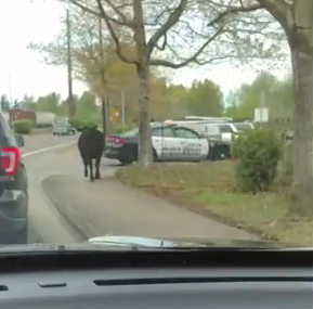 Officers give chase to wayward cow in northeast Salem