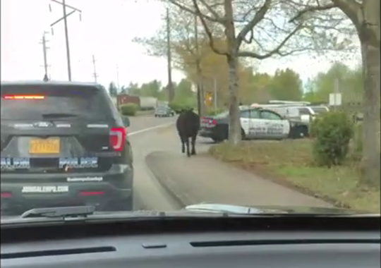 A cow on the loose in northeast Salem Tuesday afternoon.