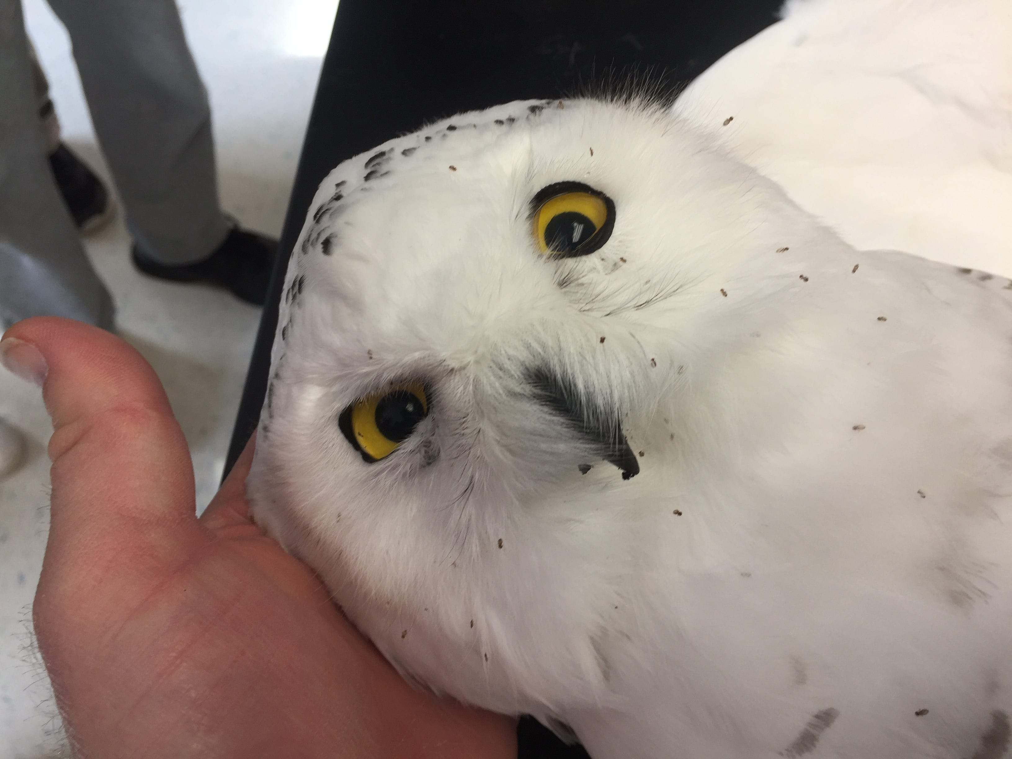 Taxidermist Jeff Herrick specially ordered the eyes of the snowy owl from Canada to make sure they would be the right size and color. The snowy owl now lives at the high school campus of Sheboygan Christian.