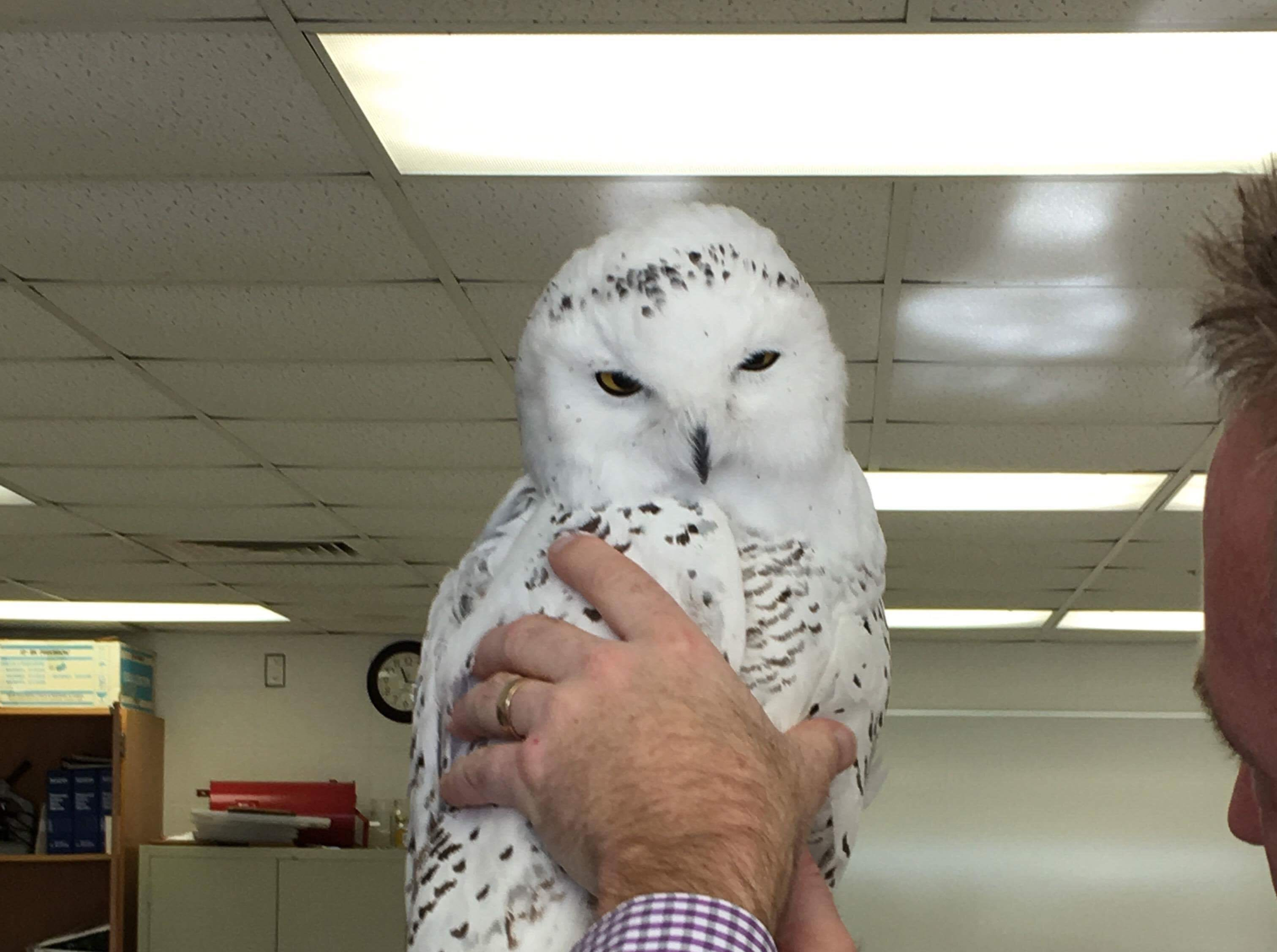 Science teacher Chris Hendrikse holds the snowy that was found on the lawn of the Sheboygan Christian School's high school campus. The snowy owl now lives at the high school campus of Sheboygan Christian.