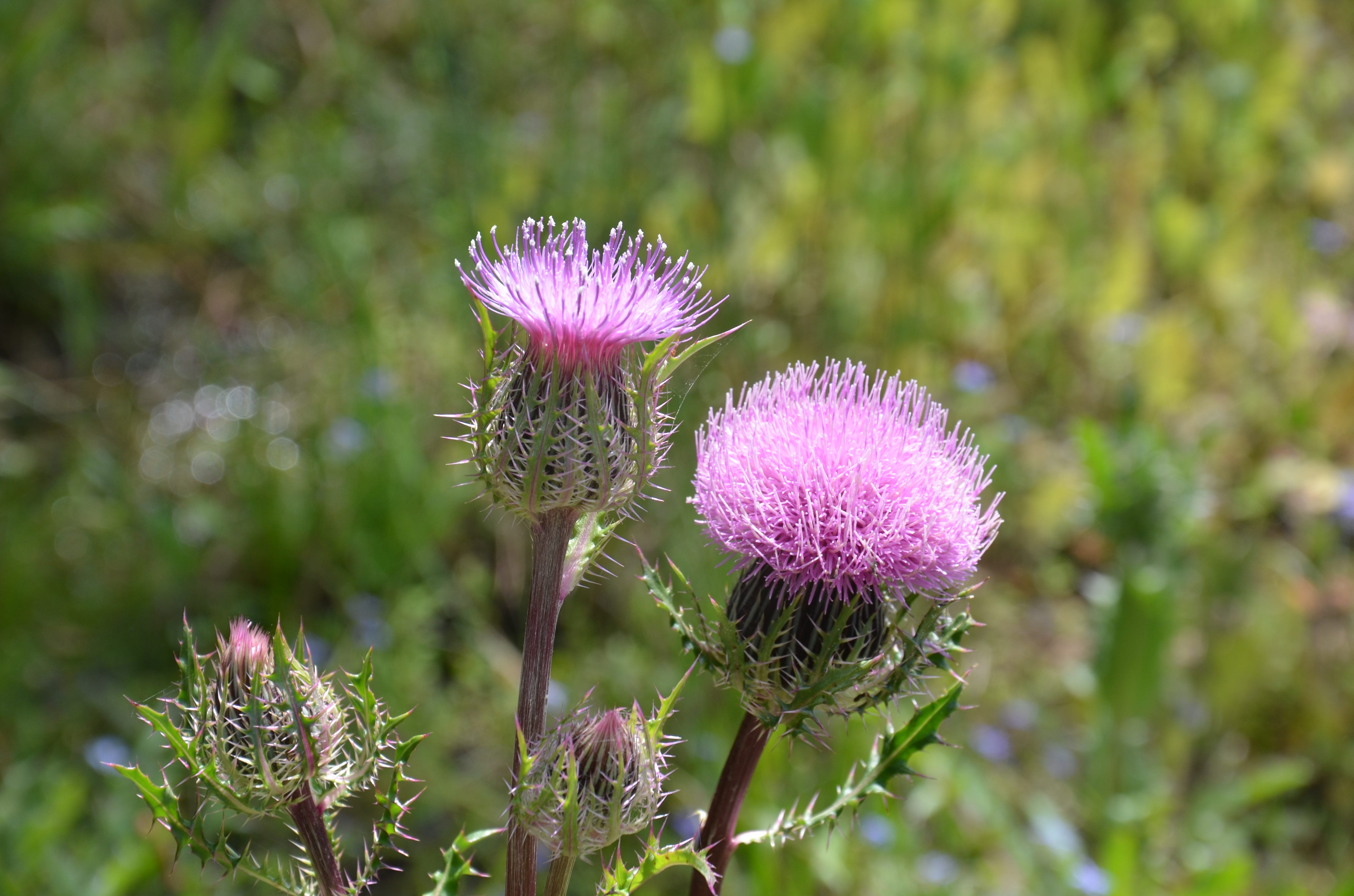 Florida thistles can produce up to 4,000 seeds per plant