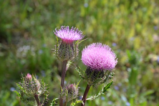 Identified as the Purple Thistle or Horrid Thistle (cirsium horridulum), this native is at the end of its flowering season and will soon be distributing seed for next years bloom