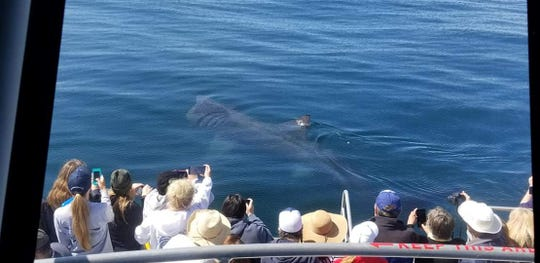 Passengers on an Island Packers boat got an up-close look at a basking shark off the coast.