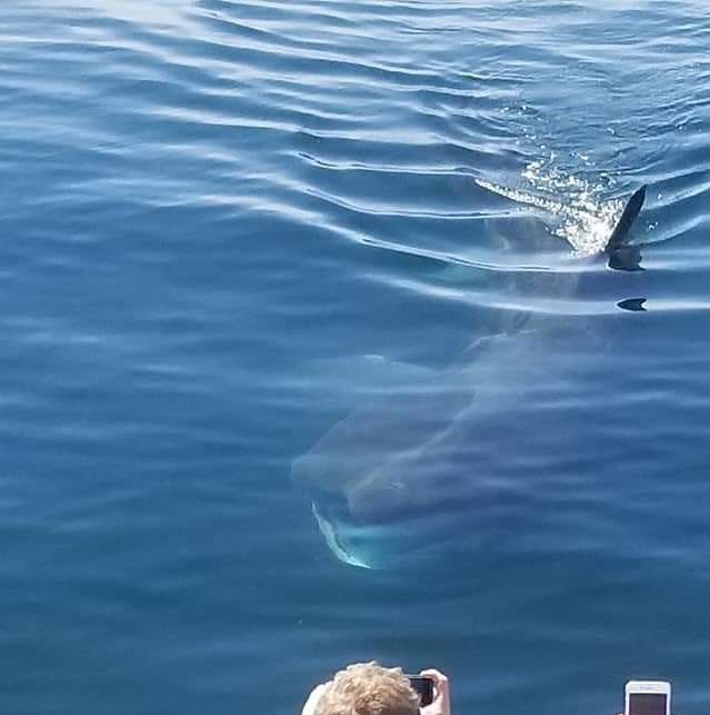 Giant sharks are showing up off the California coast