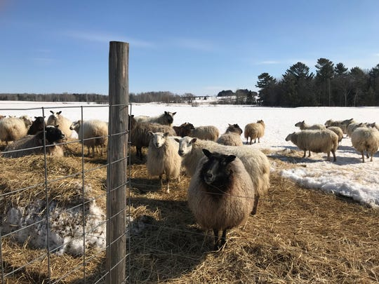 Sheep on the farm at Half Moon Hill Farm & Winery in Hamburg. Some sheep will begin to lamb in May 2019, said owner Sadie Franke.