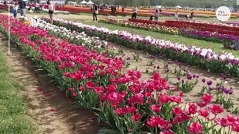 Talk about a green thumb. Hundreds of beautiful, blooming tulips are lined up at Holland Ridge Farms in New Jersey.