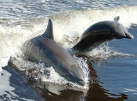 More than 260 dolphins found stranded along the Gulf Coast since February. Scientists aren't sure why.