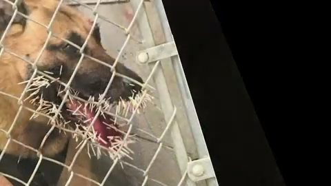 Police dog stuck by 200 porcupine quills during pursuit