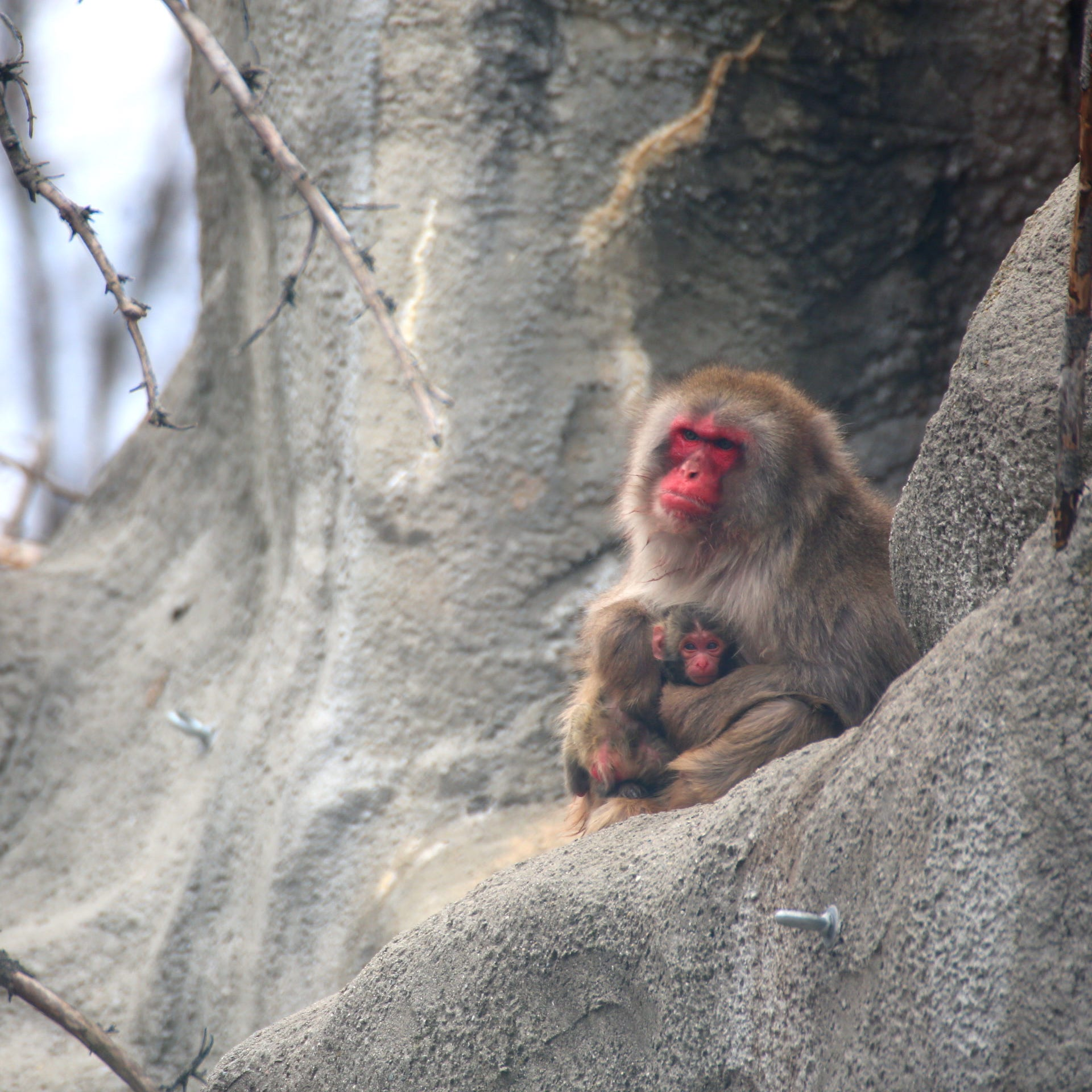 Photos: First look at snow monkey born at Detroit Zoo