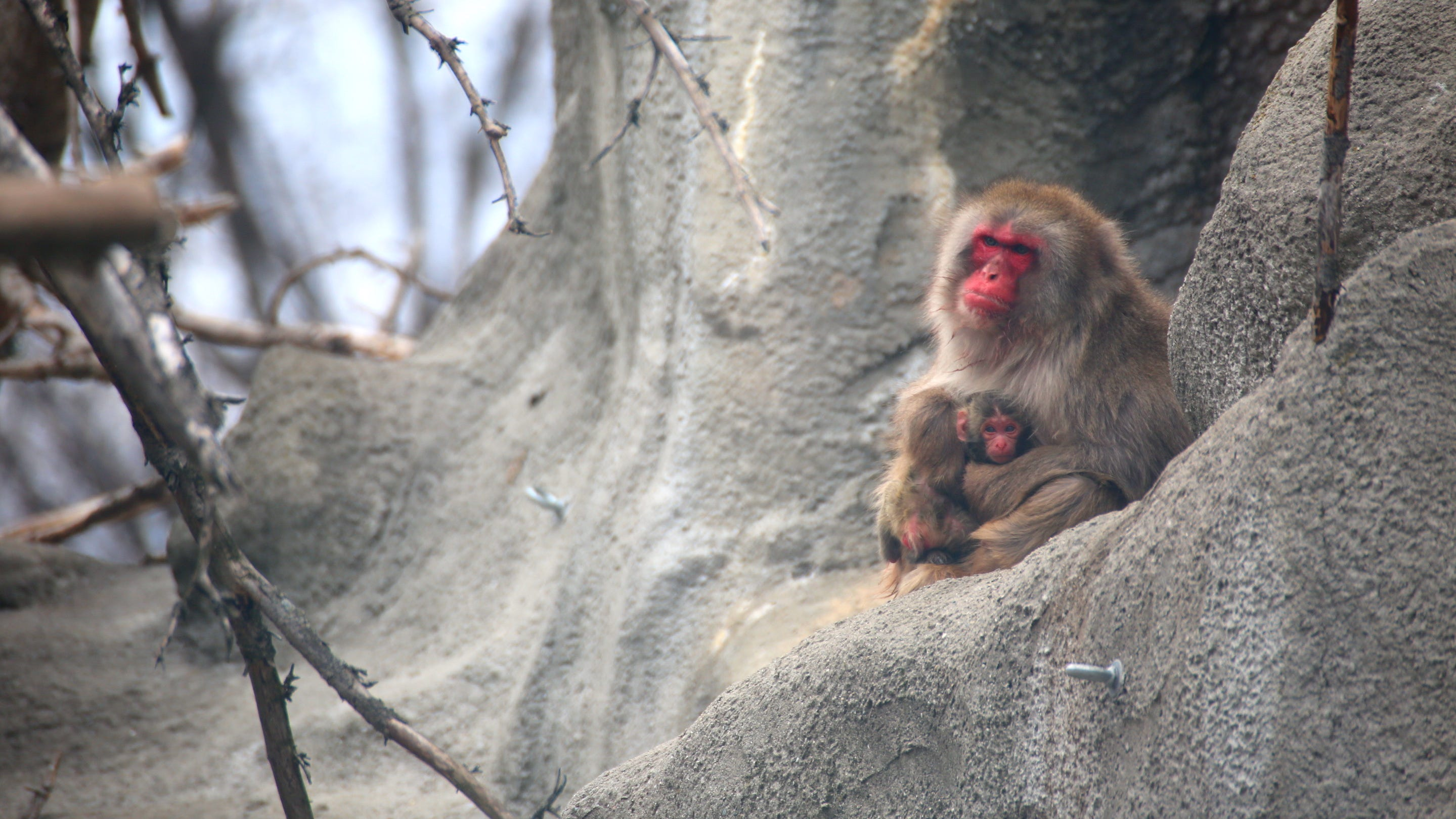 First look at snow monkey born at Detroit Zoo